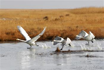 Migratory birds seen in NW China's Gansu as weather warms up