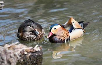 In pics: mandarin ducks at Zhaolin Park in Harbin