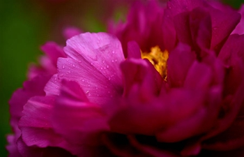 Peony flowers enter blossom season in N China's Hebei
