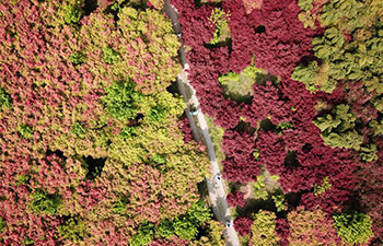 Scenery of red maple leaves in China's Zhejiang