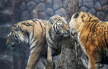 In pics: Siberian tigers in Hailin, NE China's Heilongjiang