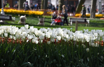 Blooming tulips seen in Istanbul, Turkey