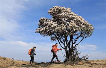 Wild rhododendrons in bloom in Yanbian County, SW China's Sichuan