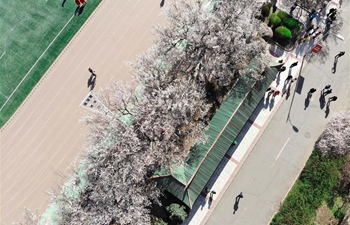 In pics: apricot trees in full bloom in Harbin, NE China's Heilongjiang