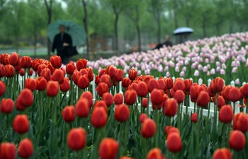 In pics: tulips in Tianjin, N China