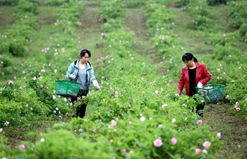 Zipeng Town in China's Anhui develops rose planting industry to boost people's incomes
