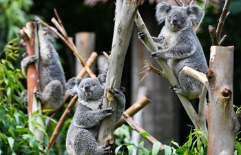 Number of koalas increases in park in Guangzhou, China's Guangdong