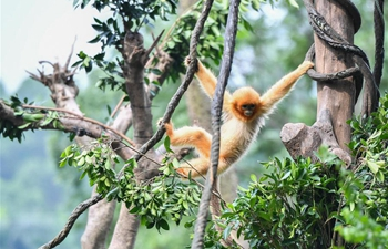 In pics: golden snub-nosed monkeys in Guangzhou, S China's Guangdong