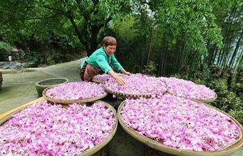 Farmer dries fresh dendrobium noble flowers in SW China's Guizhou