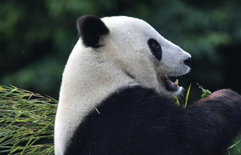China Focus: Giant pandas return to China after years in U.S.