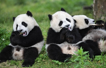"In pics: baby giant pandas at ""Giant Panda Kindergarten"" in Wolong, SW China"
