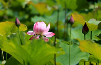 In pics: lotus flowers at wetland park in east China's Anhui