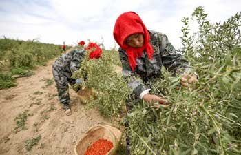 In pics: Harvest of wolfberries in NW China's Ningxia