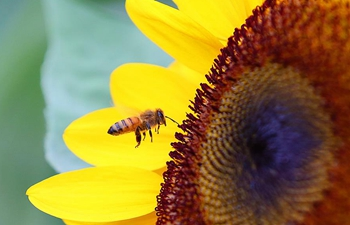 In pics: bee collects sunflower pollen