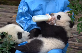 Baby panda enjoys drinking milk