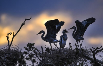 Grey herons seen in NW China's Shaanxi