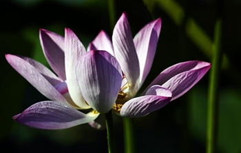 In pics: lotus at park in Hebei