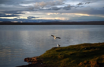 Brown-headed gulls seen along bank of Nam Co Lake in SW China's Tibet