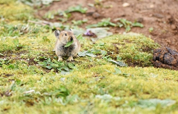 Plateau pikas seen by lakeside on Qinghai-Tibet plateau
