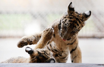 Over 30 Siberian tiger cubs born from end of February at Heilongjiang breeding center