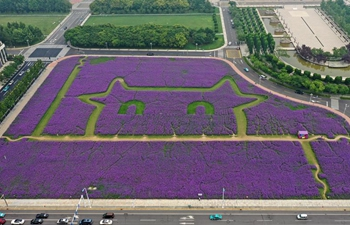 Scenery of verbena flowers in Binhai New Area of north China's Tianjin