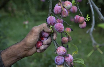 Farmers harvest plums in Indian-controlled Kashmir