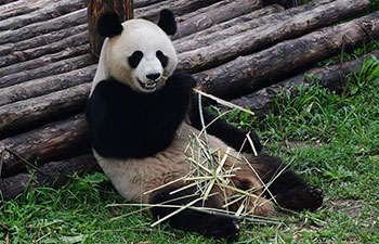 Giant pandas fend off summer heatwave