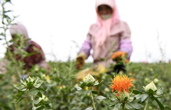 Safflowers enter harvest season in northwest China's Ningxia