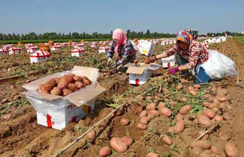Farmers harvest early potatoes in north China's Hebei Province