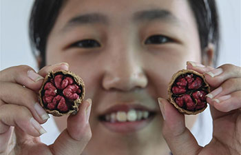 Planting of walnut with red kernels lifts locals out of poverty in China's Shaanxi