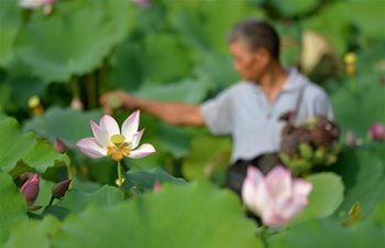 Villagers harvest lotus seedpods in Cixian County, China's Hebei