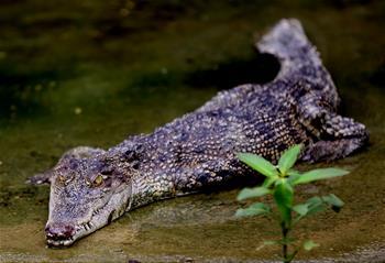 Crocodiles seen at Thaketa Crocodile Farm in Yangon, Myanmar