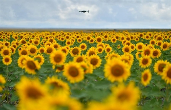 In pics: blooming sunflowers in Baiyin, northwest China's Gansu