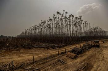 Destroyed eucalyptus plantation seen in Humaita, Brazil
