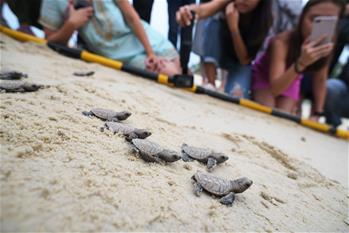 Newborn Hawksbill sea turtle seen in Singapore's Sentosa Island