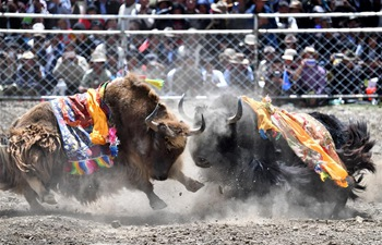 Bullfight festival held in China's Tibet