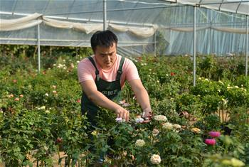 Pis story: Zhang Yan works on planting Chinese rose in E China's Jiangsu