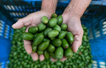 Chinese torreya nuts enter harvest season in Jidong Township, Zhejiang
