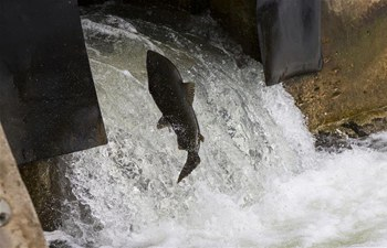 Salmons swim upstream during migration to spawning grounds on Ganaraska River in Canada