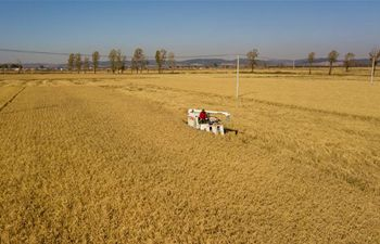 Farmers harvest paddy rice in field in northeast China