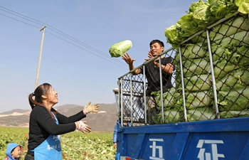 Villagers harvest Chinese cabbages in NE China