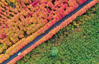 Maple trees charm tourists in north China's Hebei
