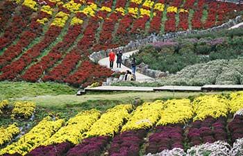Tourists enjoy chrysanthemum flowers in China's Guizhou
