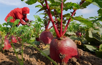 Radishes enter harvest season in north China's Hebei