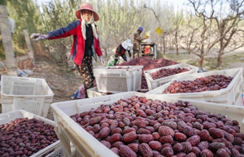 Red jujube enters harvest season in Ruoqiang, Xinjiang