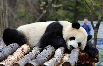 Jiawuhai Giant Panda Conservation and Research Park opens in SW China