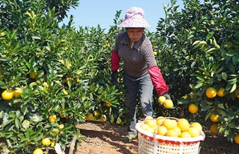 Navel orange orchards enter harvest season in Xunwu County, east China