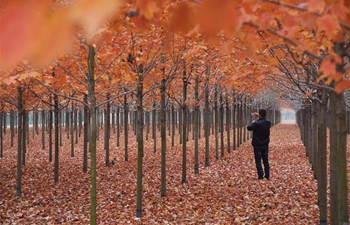 Scenery of maple trees with reddening leaves in E China's Shandong