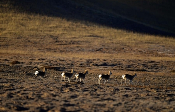 In pics: wildlife on prairie in NW China's Qinghai