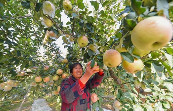 Farmers usher in harvesting season of apples in N China's village